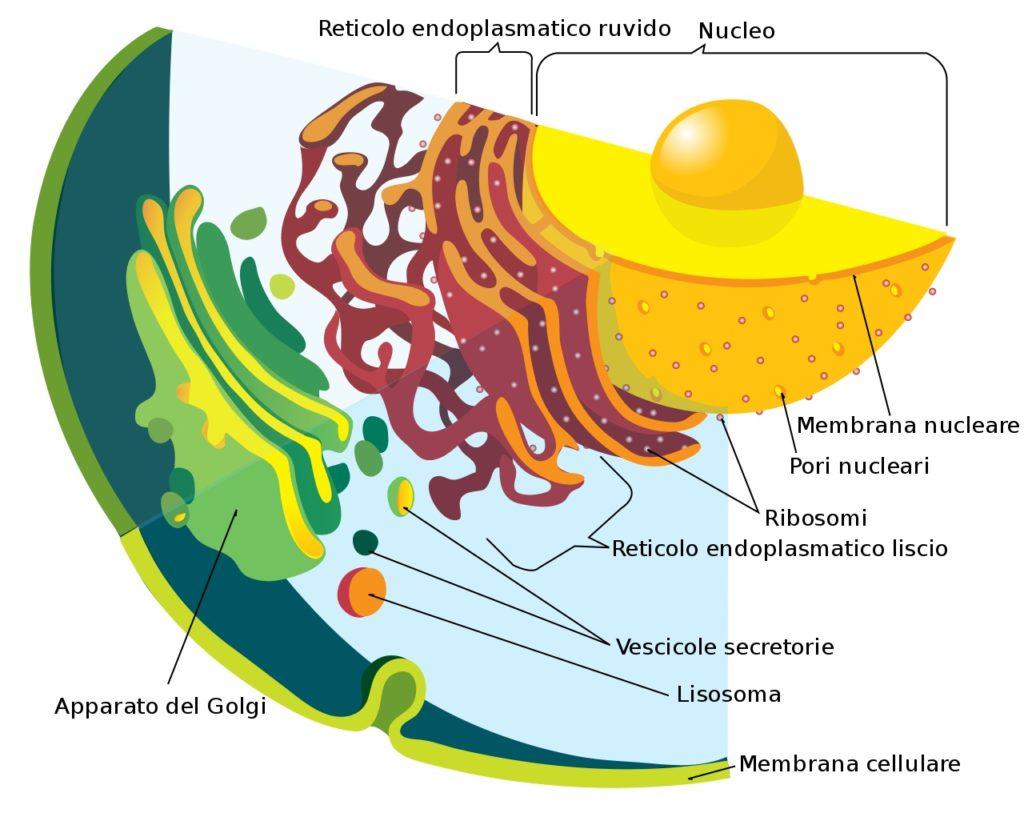 Endoplasmic Reticulum Function: Structure And Diagram