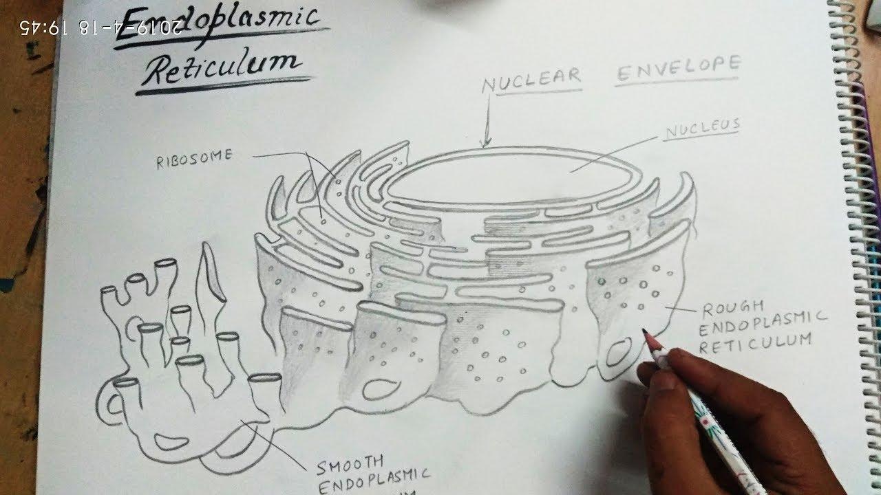 How To Draw Endoplasmic Reticulum