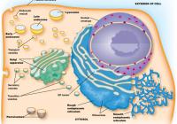 Cell Structure/function Diagram   Quizlet for Er Diagram Quizlet