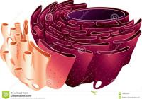 Endoplasmic Reticulum Stock Illustration. Illustration Of inside Endoplasmic Reticulum Drawing