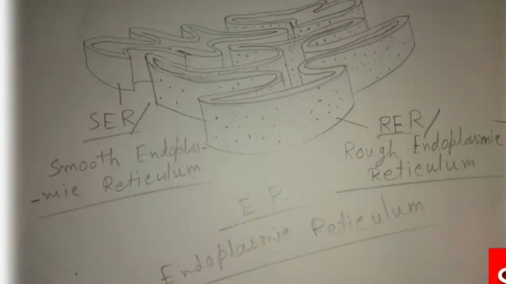 Permalink to How To Draw Endoplasmic Reticulum. throughout Endoplasmic Reticulum Drawing