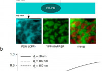 Live-Cell Imaging Of Er-Pm Contact Architecturea Novel for Er Mapper